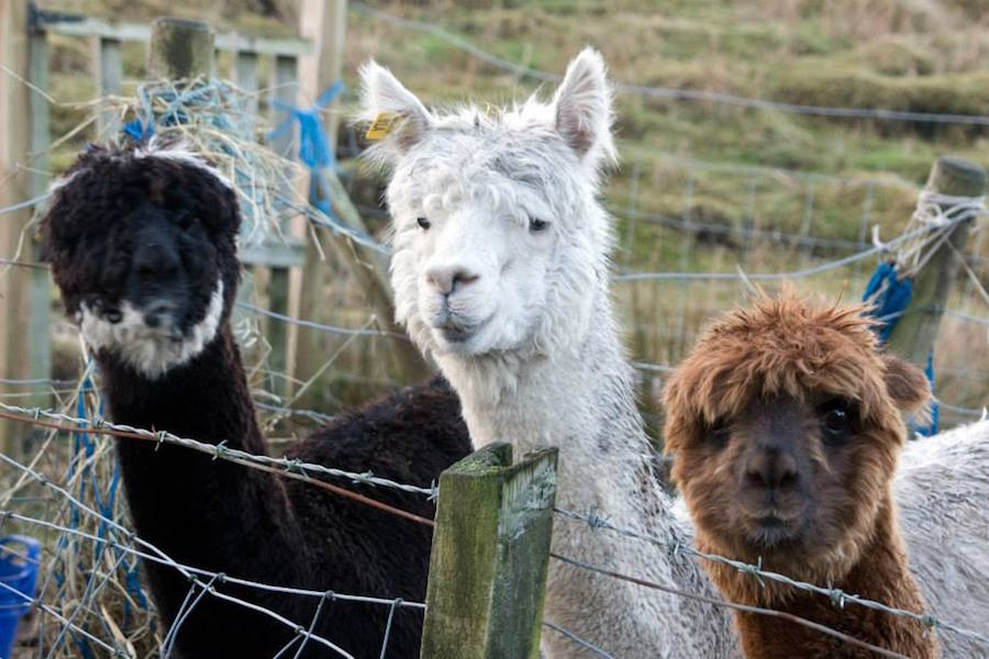 Hebridean Alpacas
