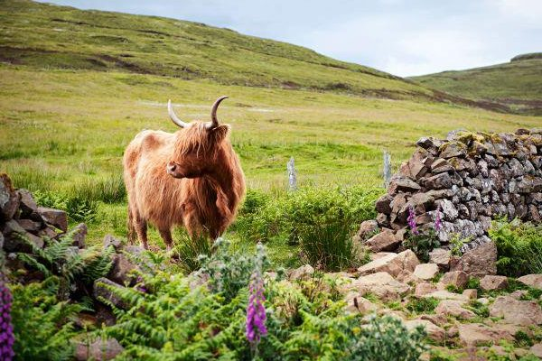 Whats on Skye, Orbost Farm, Highland Cow